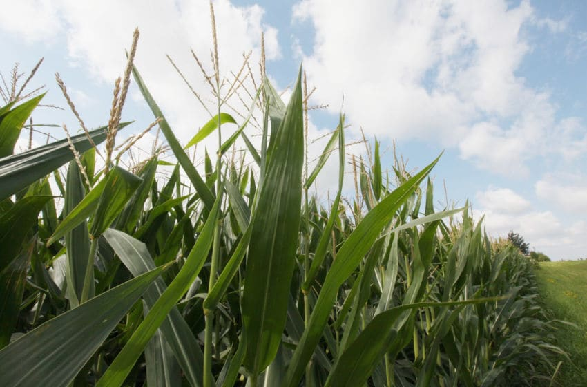 Corn field (Photo by Scott Olson/Getty Images)