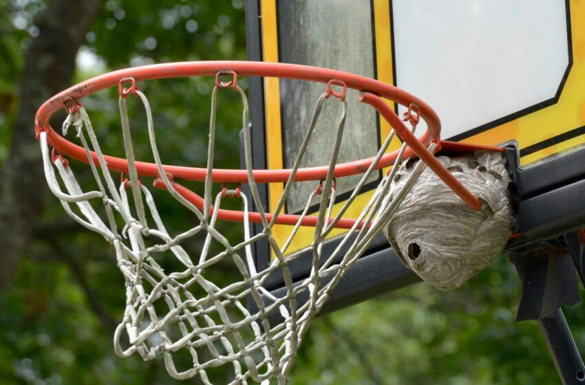 Hornets have made their home on a basketball hoop outside a Cardinal Road home in Sandwich. Residents around the Cape are complaining about an increased population of the stinging insects this year. Wasps