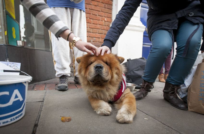 LONDON, ENGLAND - DECEMBER 14: A Japanese Akita dressed up in a festive costume enjoys being stroked by Christmas shoppers on December 14, 2013 in London, England. As Christmas Day approaches, London's central shopping districts attempt to lure shoppers into stores with last minute deals in an effort to pull sales away from online outlets. (Photo by Dan Dennison/Getty Images)