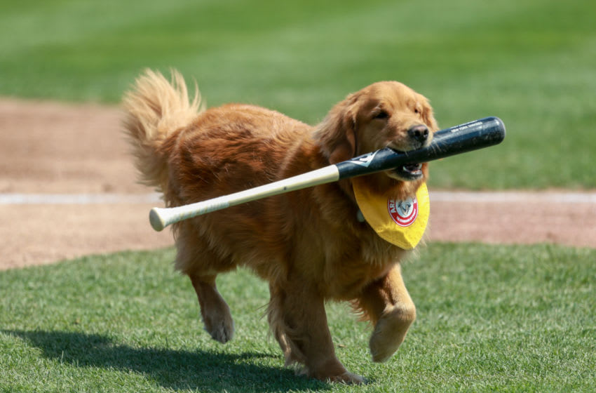 Rookie the Batdog at work. Photo provided by Trenton Thunder.