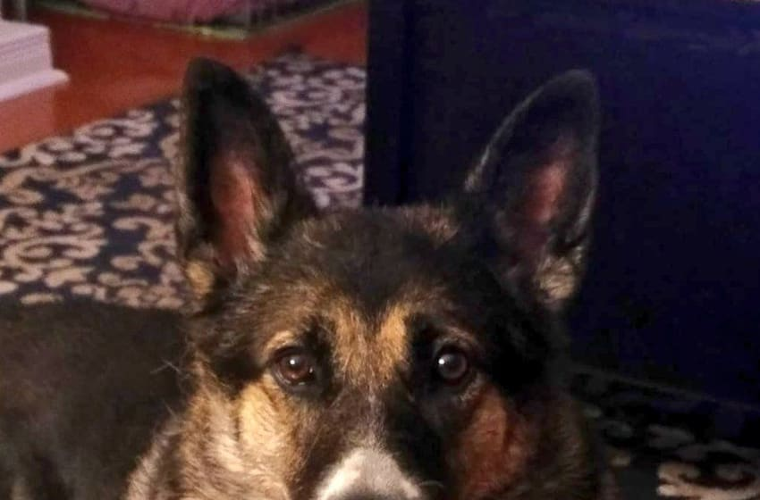 PeytonReads the German Shepherd/Husky mix. Photo provided by Cathy Easter.