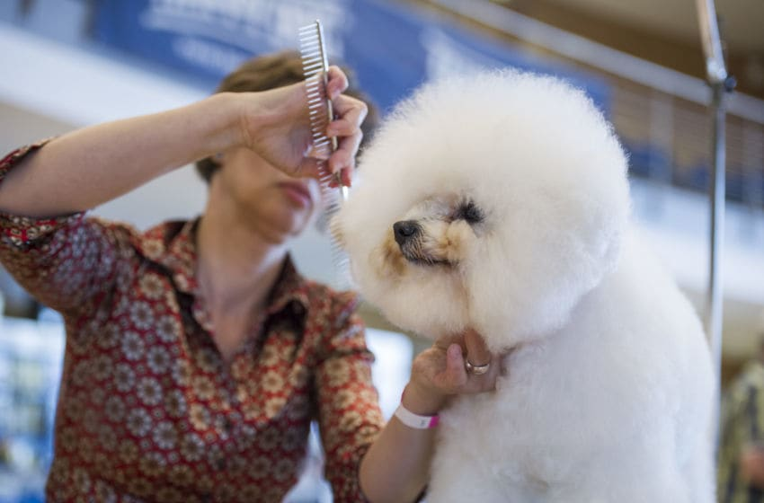 ERFURT, GERMANY - JUNE 14: Janet Schoen from Germany prepares a Bichon Frise prior to judging in the 3rd National and International Dog Grooming Championships on June 14, 2014 in Erfurt, Germany. The event has drawn 32 competitors, with 52 dogs, from 5 countries and is taking place as part of the annual Erfurt dog breeders' show. (Photo by Jens Schlueter/Getty Images)
