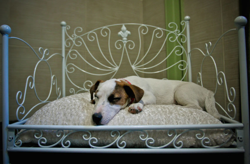 VINCENNES, FRANCE - APRIL 19: 'Flag', a Jack Russell terrier sleeps in bed in its hotel room at Actuel Dogs on April 19, 2011 in Vincennes, France. Opened in November 2010 by Devi and Stan Burun, Actuel Dogs is a five-star luxury hotel for dogs with four single rooms and two suites. With the aim of meeting the dogs' needs, the hotel offers activities including doggy walks, doggy rando?(hiking), doggy jogs, doggy velo?(running next to a bike) and other services such as dog massage. The hotel also caters to the needs of people living in small appartments or who don't have the time to walk their dogs. (Photo by Franck Prevel/Getty Images)