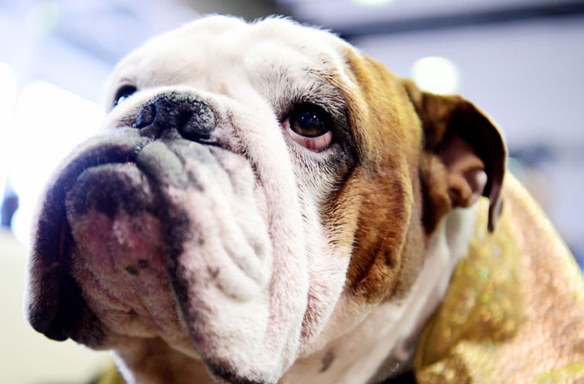 NEW YORK, NEW YORK - FEBRUARY 11: Gringo the Bulldog looks on during Breed Judging at the 143rd Westminster Kennel Club Dog Show at Piers 92/94 on February 11, 2019 in New York City. (Photo by Sarah Stier/Getty Images)