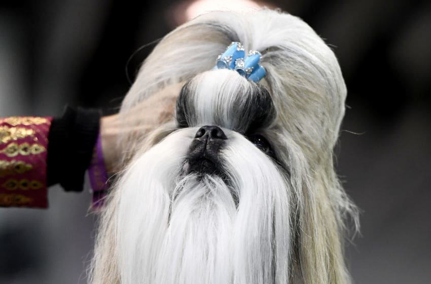 NEW YORK, NEW YORK - FEBRUARY 11: A Shih Tzu competes in Breed Judging during the 143rd Westminster Kennel Club Dog Show at Piers 92/94 on February 11, 2019 in New York City. (Photo by Sarah Stier/Getty Images)