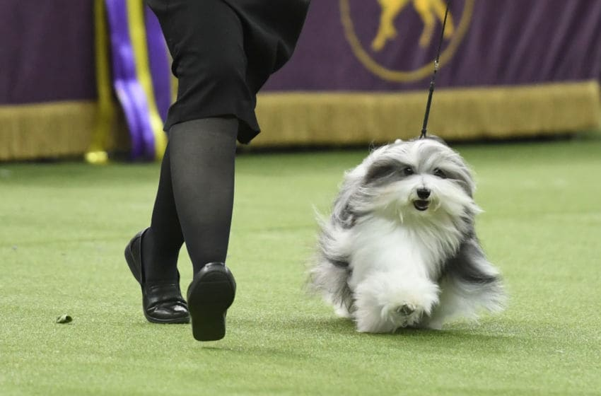 NEW YORK, NEW YORK - FEBRUARY 12: The Havanese 'GCHG CH Oeste's In The Name Of Love' competes in Best in Show at the 143rd Westminster Kennel Club Dog Show at Madison Square Garden on February 12, 2019 in New York City. The Havanese won Reserve Best in Show. (Photo by Sarah Stier/Getty Images)