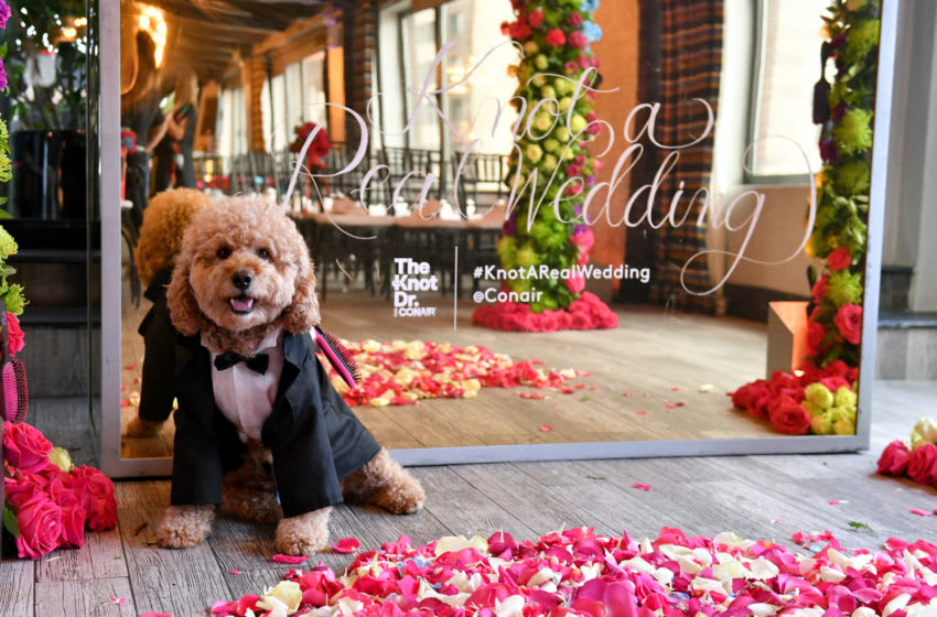 "Samson the Goldendoodle celebrates ""Knot-A-Real-Wedding"" in honor of Conair's The Knot Dr. Detangling Brush in New York City. (Photo by Craig Barritt/Getty Images for Conair)"