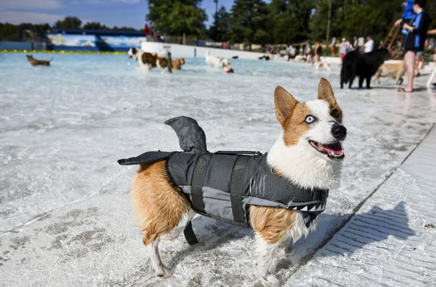 Leonardo the corgi wears a shark fin life jacket while playing in the Thunder Bay Wave Pool during the Bow Wow Beach Doggie Day at Water World on September 7, 2019 in Federal Heights, Colorado. (Photo by Michael Ciaglo/Getty Images)
