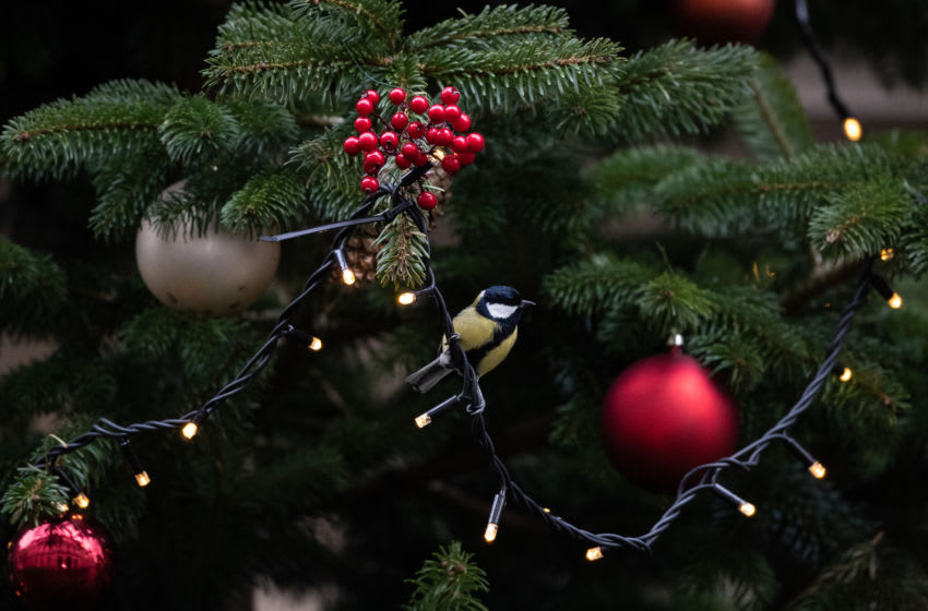 LONDON, ENGLAND - DECEMBER 16: A great tit sits next to the baubles in the Christmas tree as the press wait for politicians on Downing Street on December 16, 2019 in London, England. The UK's Prime Minister is set to hold a mini Cabinet reshuffle to replace outgoing ministers following last week's general election victory. (Photo by Leon Neal/Getty Images)
