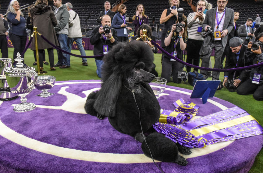 WNEW YORK, NY - FEBRUARY 11: Standard Poodle named Siba sits in the winners circle after winning Best in Show during the annual Westminster Kennel Club dog show on February 11, 2020 in New York City. The 144th annual Westminster Kennel Club Dog Show brings more than 200 breeds and varieties of dog into New York City for the the competition which began Saturday and ends Tuesday night in Madison Square Garden with the naming of this year's Best in Show.(Photo by Stephanie Keith/Getty Images)