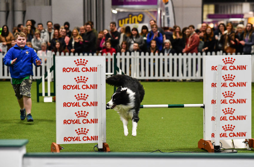 BIRMINGHAM, ENGLAND - MARCH 05: A Border Collie leaps a jump during the agility section on one of Crufts 2020 at the National Exhibition Centre on March 5, 2020 in Birmingham, England. Crufts, the world's biggest dog show got under way this morning. The annual event has restrictions in place due to the coronavirus outbreak however is still expected to attract thousands of dogs and their owners to the four day event. Royal Canin, a petfood company and one of the dog show's major sponsors, advised its representatives to stay away from large events like Crufts