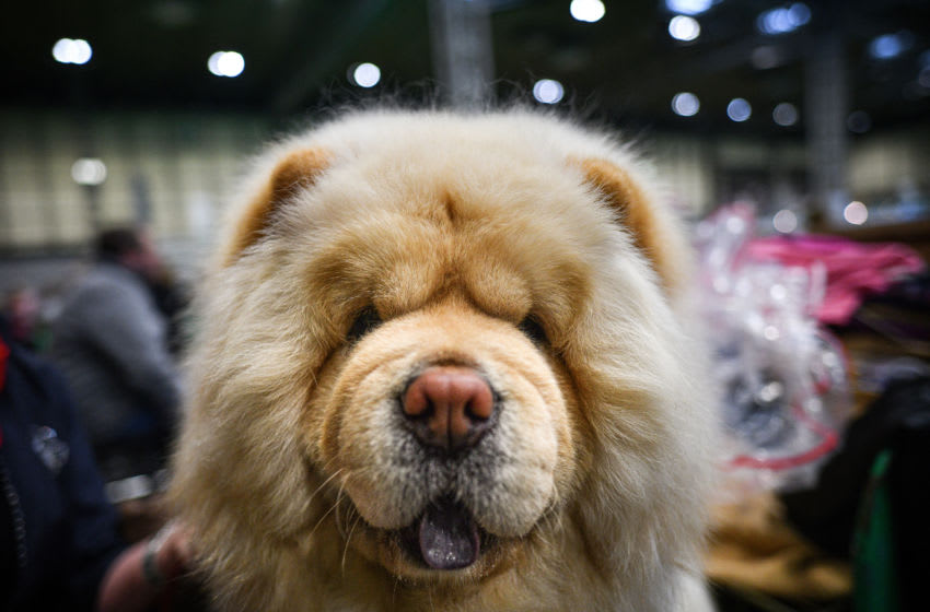A Chow Chow waits to be shown on day one of Crufts 2020. (Photo by Jeff J Mitchell/Getty Images)