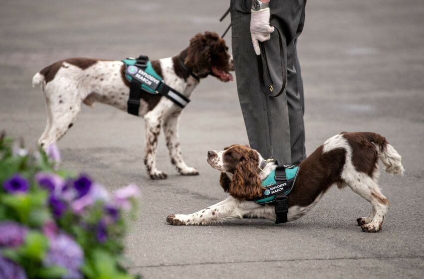 Security search dogs are pictured on the sixth day of the 2021 Wimbledon Championships at The All England Tennis Club in Wimbledon, southwest London, on July 3, 2021. - RESTRICTED TO EDITORIAL USE (Photo by AELTC/Ben Solomon / POOL / AFP) / RESTRICTED TO EDITORIAL USE (Photo by AELTC/BEN SOLOMON/POOL/AFP via Getty Images)