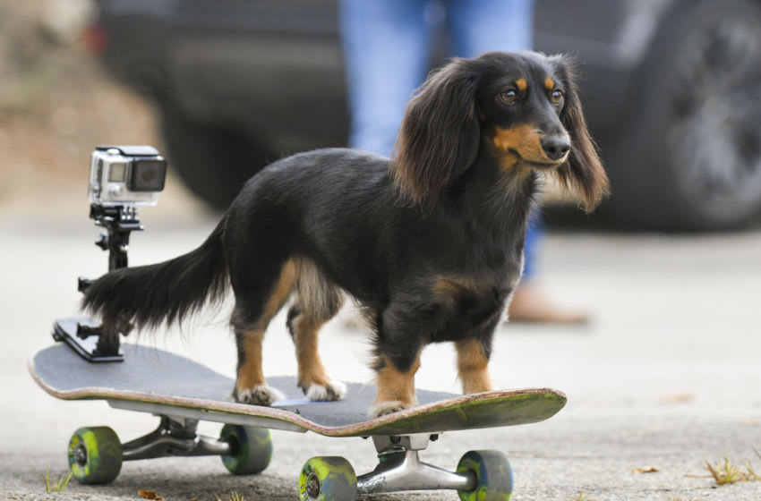 MALIBU, CALIFORNIA - AUGUST 24: Rowdy, the skateboarding Dachsund, demonstrates her skateboarding skills today while taping a segment for Pawsitive Impact, Amazon Pets and Treasure Truck's First-Ever Virtual Livestream to Celebrate National Dog Day and Pawsitive Impact at Zuma Beach on August 24, 2020 in Malibu, California. Amazon Pets and Treasure Truck's Pawsitive Impact Virtual Livestream will air on August 26 at 10:00 a.m. PST / 1 p.m. EST. on Amazon Live. (Photo by Rodin Eckenroth/Getty Images)