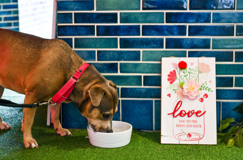 LOS ANGELES, CALIFORNIA - FEBRUARY 13: Dog drinks from bowl at Valentine's Day pop-up mural