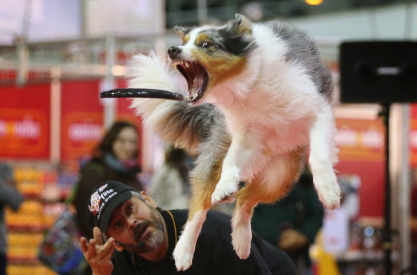 BERLIN, GERMANY - NOVEMBER 02: Summit, an Australian shepherd, makes a leaping catch of a frisbee thrown by dog trainer Juergen Bartz at the pet trade fair (Heimtiermesse) at Velodrom on November 2, 2012 in Berlin, Germany. Exhibitors are showing the latest trends in collars, snacks and other accessories for cats, dogs and other household pets. (Photo by Sean Gallup/Getty Images)