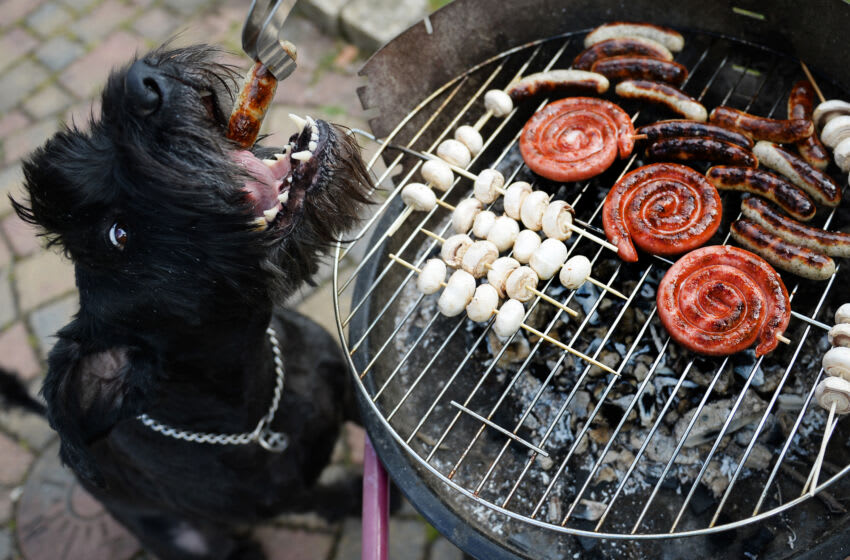 Dog 'Chili' gets a grilled sausage during the first barbecue of this spring in Busbach, southern Germany, on April 14, 2013. Temperatures in parts of the country reached 20 degrees Celsius and even more. AFP PHOTO / DAVID EBENER GERMANY OUT (Photo credit should read DAVID EBENER/DPA/AFP via Getty Images)