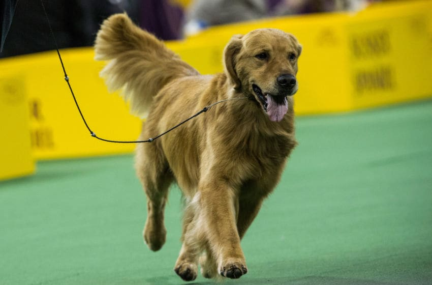 NEW YORK, NY - FEBRUARY 11: A Golden Retriever competes in the Westminster Dog Show on February 11, 2014 in New York City. The annual dog show has been showcasing the best dogs from around world for the last two days in New York. (Photo by Andrew Burton/Getty Images)