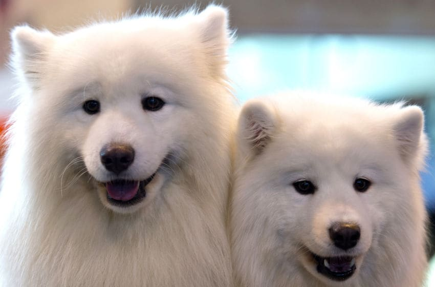 BIRMINGHAM, ENGLAND - MARCH 12: A pair of samoyed dogs sit on a preparation table on the third day of Crufts 2016 on March 12, 2016 in Birmingham, England. First held in 1891, Crufts is said to be the largest show of its kind in the world, the annual four-day event, features thousands of dogs, with competitors travelling from countries across the globe to take part and vie for the coveted title of 'Best in Show'. (Photo by Ben Pruchnie/Getty Images)
