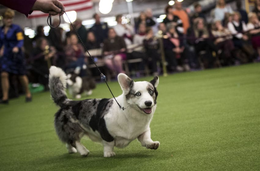 NEW YORK, NY - FEBRUARY 13: A Pembroke Welsh Corgi runs during competition at the 141st Westminster Kennel Club Dog Show, February 13, 2017 in New York City. There are 2874 dogs entered in this show with a total entry of 2908 in 200 different breeds or varieties, including 23 obedience entries. (Photo by Drew Angerer/Getty Images)