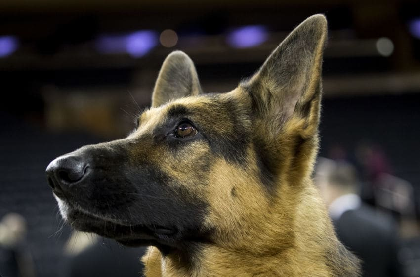 NEW YORK, NY - FEBRUARY 14: Rumor the German Shepherd poses for photos after winning Best In Show at the Westminster Kennel Club Dog Show at Madison Square Garden, February 14, 2017 in New York City. There are 2874 dogs entered in this show with a total entry of 2908 in 200 different breeds or varieties, including 23 obedience entries. (Photo by Drew Angerer/Getty Images)