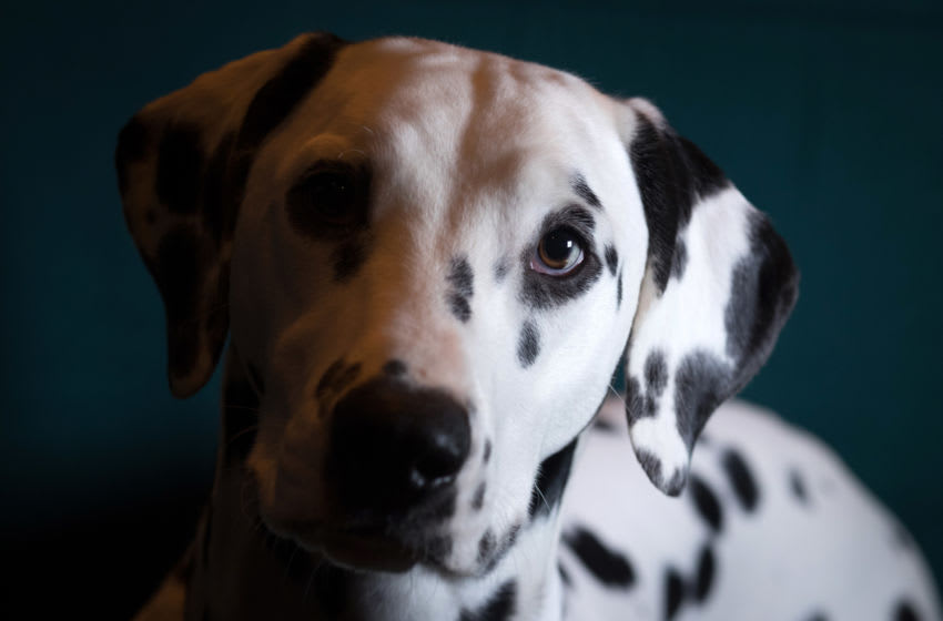 BIRMINGHAM, ENGLAND - MARCH 10: Saga, a 10-month-old Dalmatian, poses for a photograph on the second day of Crufts Dog Show at the NEC Arena on March 10, 2017 in Birmingham, England. First held in 1891, Crufts is said to be the largest show of its kind in the world. The annual four-day event features thousands of dogs, with competitors travelling from countries across the globe to take part and vie for the coveted title of 'Best in Show'. (Photo by Matt Cardy/Getty Images)