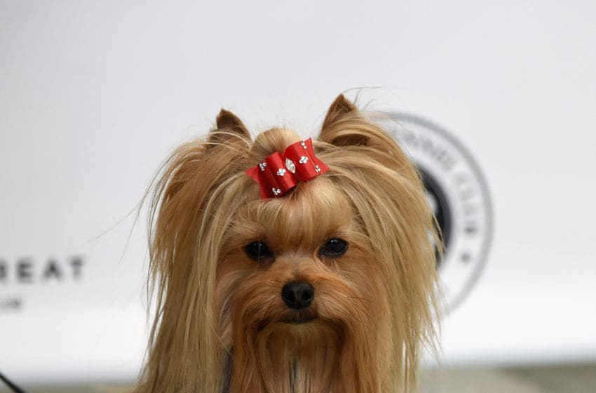 NEW YORK, NY - MARCH 21: A Yorkshire Terrier, the 9th most popular breed of 2016, is shown at The American Kennel Club Reveals The Most Popular Dog Breeds Of 2016 at AKC Canine Retreat on March 21, 2017 in New York City. (Photo by Jamie McCarthy/Getty Images)
