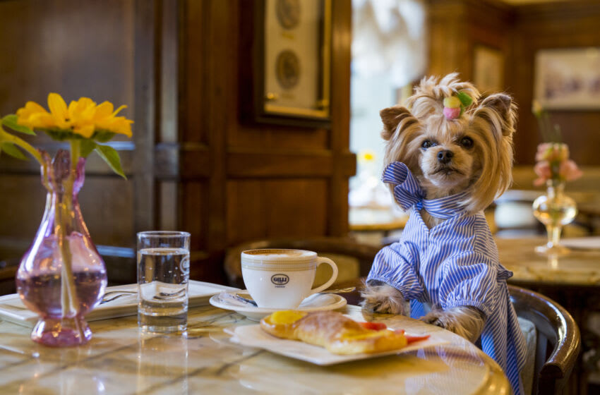 FLORENCE, ITALY - JUNE 12: Little Lola Sunshine the dog has breakfast at Gilli caffe wearing dress inspired by Off-White during Pitti Immagine Uomo 92. on June 12, 2017 in Florence, Italy. (Photo by Claudio Lavenia/Getty Images)