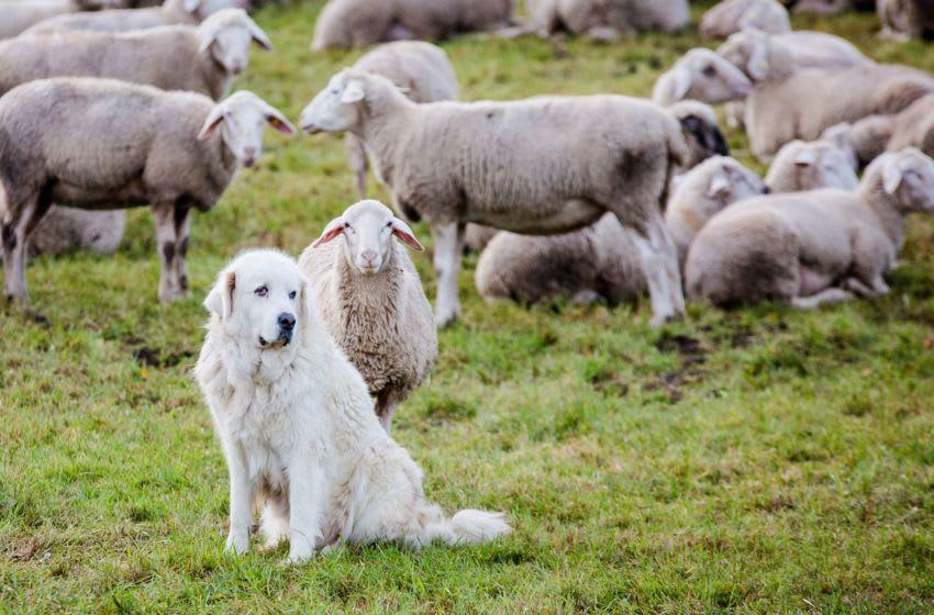 The livestock guardian dog