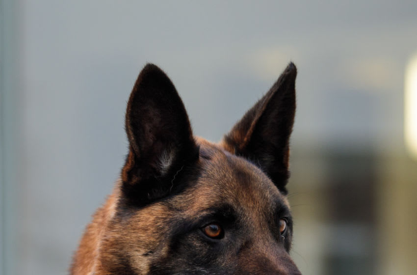 COVID-sniffing dogs (Photo by Jack Taylor/Getty Images)