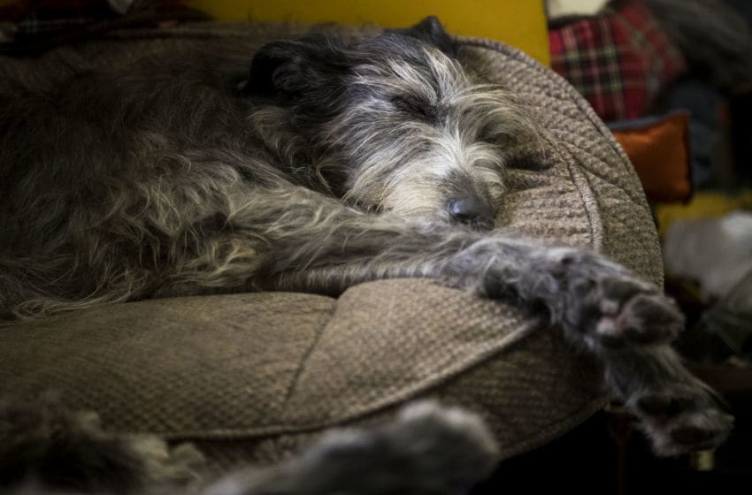 NEW YORK, NY - FEBRUARY 12: An Irish Wolfhound sleeps in the grooming area at the 142nd Westminster Kennel Club Dog Show at The Piers on February 12, 2018 in New York City. The show is scheduled to see 2,882 dogs from all 50 states take part in this year's competition. (Photo by Drew Angerer/Getty Images)