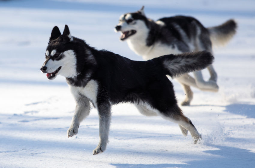 LONDON, ENGLAND - FEBRUARY 27: Huskies play in Green Park following a snow flurry on February 26, 2018 in London, England. Freezing weather conditions dubbed the
