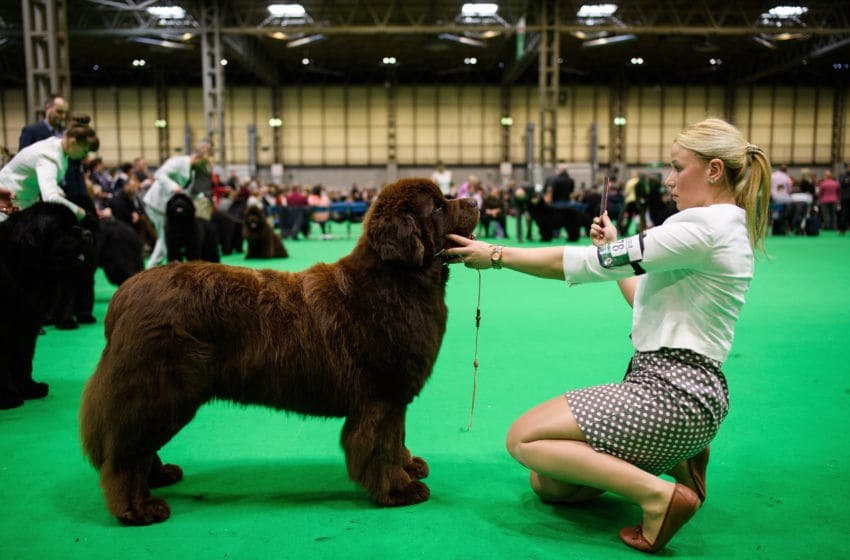 BIRMINGHAM, ENGLAND - MARCH 08: An owner sits with her Newfoundland dog during a competition round at the Crufts dog show at the NEC Arena on March 8, 2018 in Birmingham, England. The annual four-day event sees around 22,000 pedigree dogs visit the centre, before the