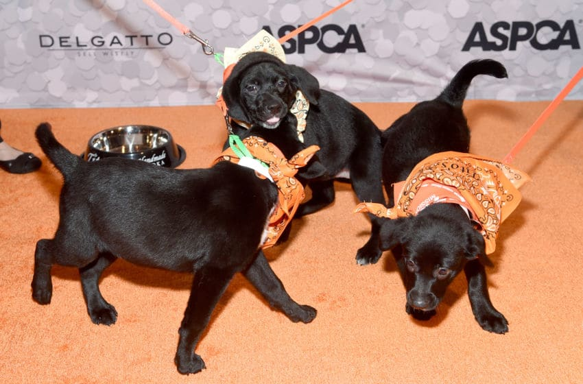 NEW YORK, NY - APRIL 19: (L-R) Puppies Ted, Lily, and Cristin attend the 21st Annual Bergh Ball hosted by the ASPCA at The Plaza Hotel on April 19, 2018 in New York City. (Photo by Jamie McCarthy/Getty Images for ASPCA)