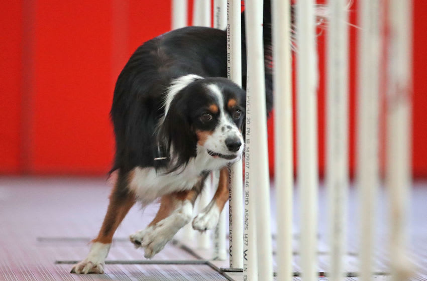 MELBOURNE, AUSTRALIA - MAY 04: A dog from Australia goes between weave poles as he competes in the the