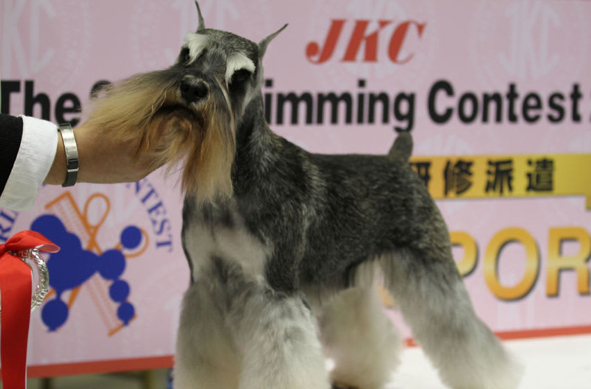 TOKYO - APRIL 03: A Miniature Schnauzer poses during the Asian International Dog Show at Tokyo Big Sight on April 3, 2010 in Tokyo, Japan. (Photo by Koichi Kamoshida/Getty Images)