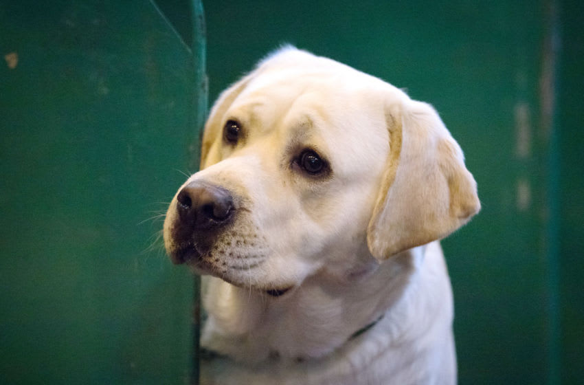 BIRMINGHAM, ENGLAND - MARCH 11: A Labrador looks out from its bench on the third day of Crufts Dog Show at the NEC Arena on March 11, 2017 in Birmingham, England. First held in 1891, Crufts is said to be the largest show of its kind in the world, the annual four-day event, features thousands of dogs, with competitors travelling from countries across the globe to take part and vie for the coveted title of 'Best in Show'. (Photo by Matt Cardy/Getty Images)