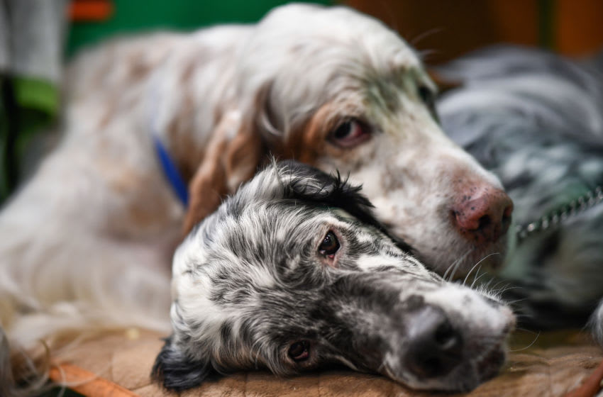 Two English Setters sleep on day 2 of the Cruft's dog show at the NEC Arena on March 6, 2020 in Birmingham, England. The annual four-day show will see around 20,000 pedigree dogs visit the centre, before the 'Best in Show' is awarded on the final day. (Photo by Jeff J Mitchell/Getty Images)