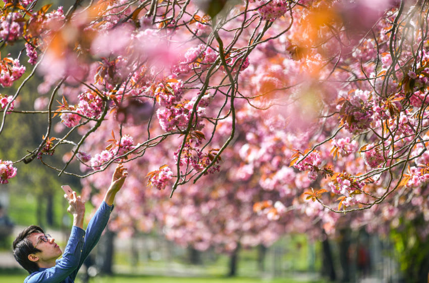 EDINBURGH, SCOTLAND - APRIL 24: Members of the public view the cherry blossom in the Meadows after a month of lockdown on April 24, 2020 in Edinburgh, United Kingdom. The British government has extended the lockdown restrictions first introduced on March 23 that are meant to slow the spread of COVID-19. (Photo by Jeff J Mitchell/Getty Images)