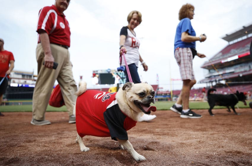CINCINNATI, OH - SEPTEMBER 21: Fans parade their dogs around the infield during the season's final Bark in the Park prior to a game between the St. Louis Cardinals and Cincinnati Reds at Great American Ball Park on September 21, 2017 in Cincinnati, Ohio. (Photo by Joe Robbins/Getty Images)