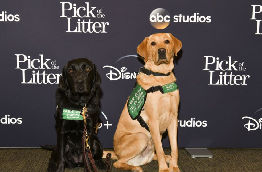 GLENDALE, CALIFORNIA - DECEMBER 17: Guide dog puppies attend the Los Angeles Special Screening of Disney+ New Series