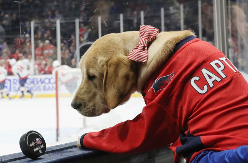 UNIONDALE, NEW YORK - JANUARY 18: The Washington Capitals America's VetDogs canine 'Captain' watches warm-ups prior to the game against the New York Islanders at NYCB Live's Nassau Coliseum on January 18, 2020 in Uniondale, New York. (Photo by Bruce Bennett/Getty Images)