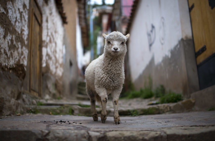 CUSCO, PERU - JANUARY 13: A Llama is pictured in the backstreets of the Incan city of Cusco, on January 13, 2014 in Cusco, Peru. The historic town of Cusco lies high in the Andes and is the typical rest-stop for tourists bound for Machu Picchu. (Photo by Justin Setterfield/Getty Images))