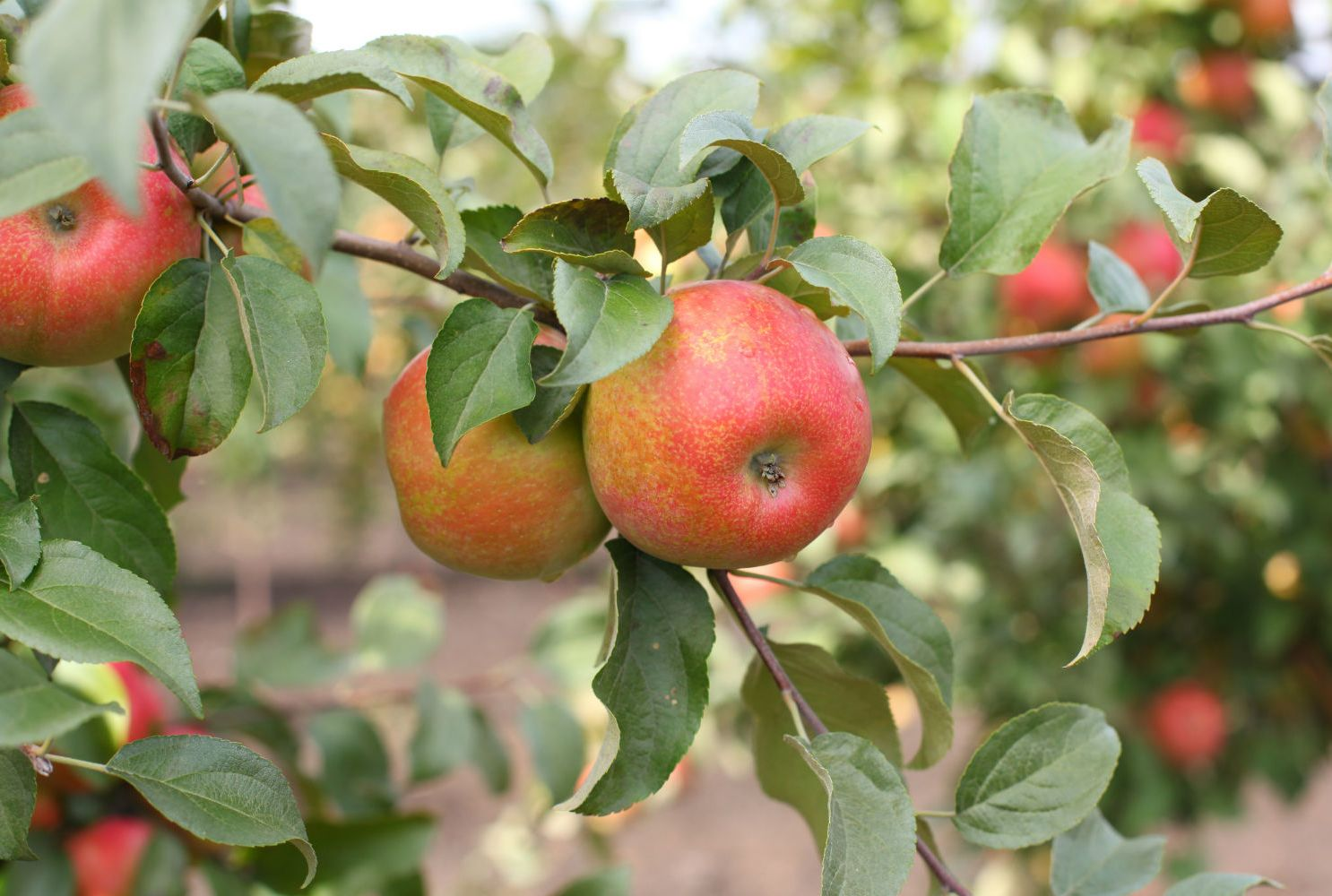 Why Do Honeycrisp Apples Cost So Much Mental Floss