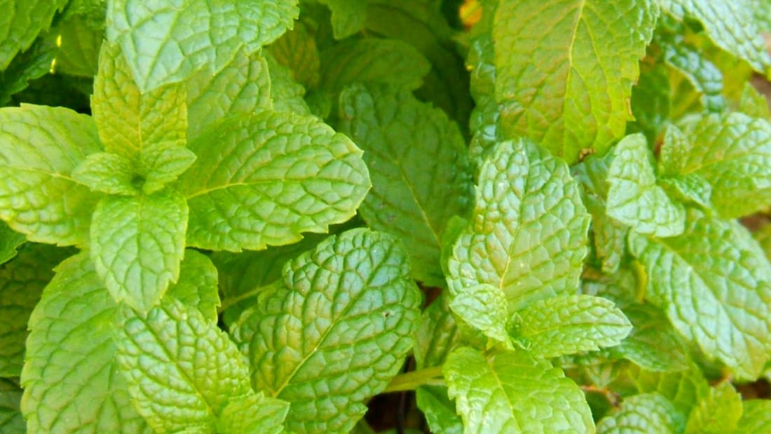 Spearmint and peppermint have slightly different uses, but either one makes a great addition to any herb garden.