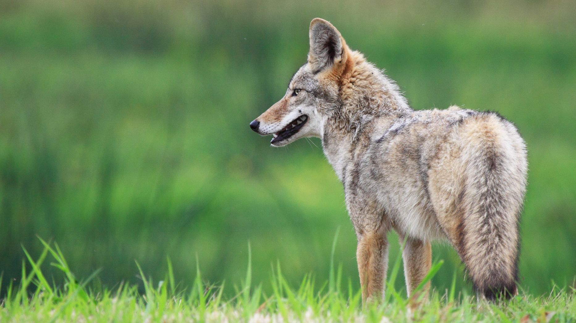 10 Wily Facts About Coyotes