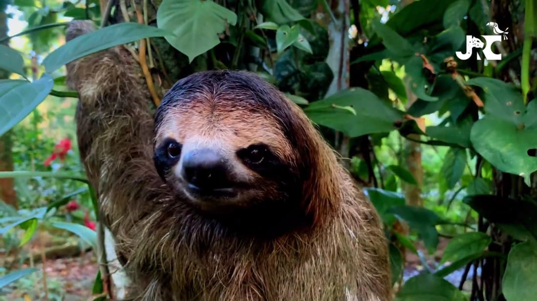A curious sloth says hello after members of the Jaguar Rescue Center reunited her with her baby.