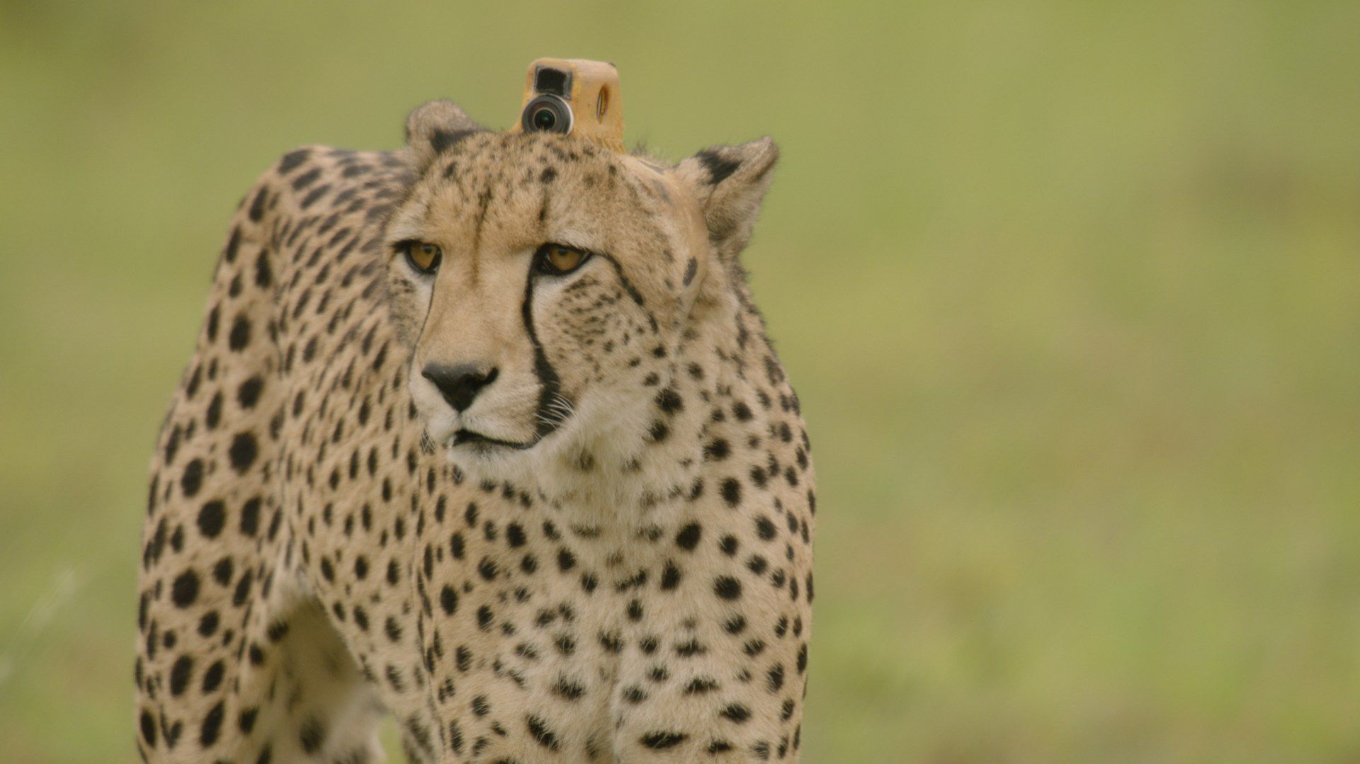 Watch a Cheetah Hunt Its Prey—From the Cheetah's Point of View - Mental Floss