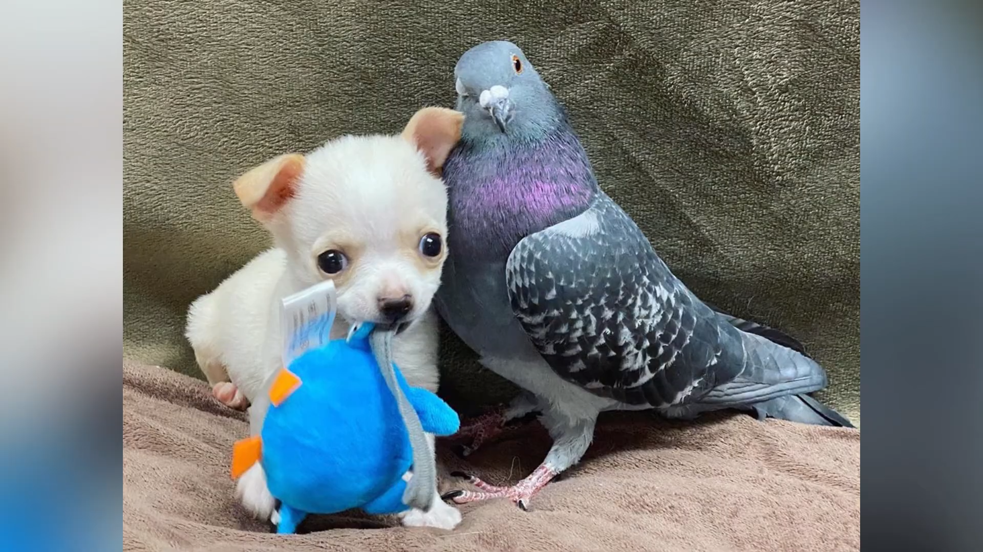 The Disabled Chihuahua Puppy Who Befriended a Flightless Pigeon Now Has a Tiny Wheelchair