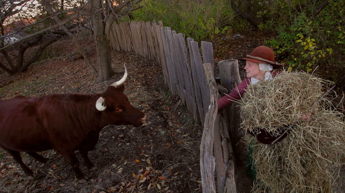 Lydia Hicks brings food to a cow in the 1627 Pilgrim Village at Plimoth Plantation, the 17th century replica village that was the site of the first Thanksgiving in 1623.